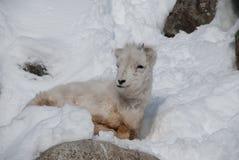野绵羊羊羔 库存图片