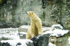 休息在雪的北极熊 库存图片