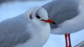 休息在雪的海鸥特写镜头在冬天期间 免版税库存图片