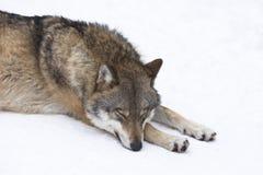 休息在雪的狼 库存图片