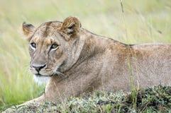 休息在非洲大草原的一只美丽的雌狮的画象 库存图片