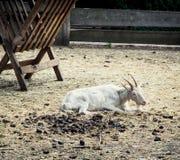 休息在饲养者附近的山羊 免版税库存照片