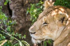 休息在马赛马拉国民的灌木的困雌狮 免版税库存图片