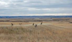 休息在高草的鹿家庭  图库摄影