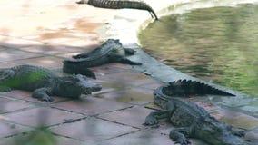 休息在鳄鱼农场的水附近的鳄鱼 繁殖的野生鳄鱼和掠食性爬行动物在动物农场 影视素材