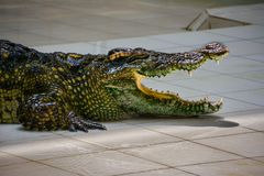?? 休息在鳄鱼农场的鳄鱼 库存图片