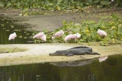 休息在鳄鱼旁边的粉红琵鹭在奥兰多Wetlan 免版税库存图片