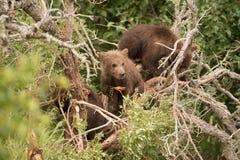 休息在死的树的棕熊崽 免版税库存图片