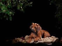 休息在黑色前面的Rhodesian Ridgeback狗 库存照片
