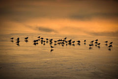 休息在冻Lac de Joux的鸟在瑞士在日落 库存图片