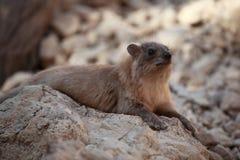 休息在Ein Gedi绿洲的岩石非洲蹄兔 库存图片