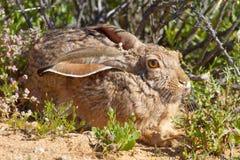 休息在Goegap自然保护的一个温暖和晴朗的斑点的海角野兔在跳羚附近在北开普省,南非 免版税库存照片