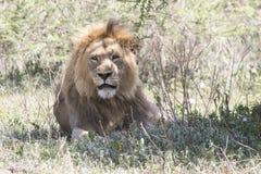 休息在Ngorongoro的一棵树下的公非洲狮子 免版税图库摄影