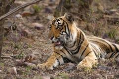 休息在Ranthambore国家公园的孟加拉老虎在印度 免版税库存照片