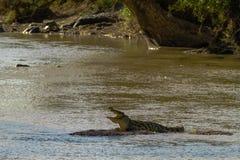 休息在shallows鳄鱼 坦桑尼亚,非洲 图库摄影