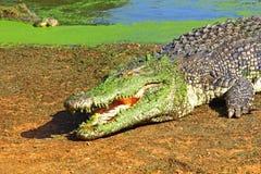 休息大的鳄鱼在阳光下,澳大利亚 免版税图库摄影