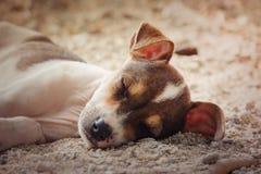 休息奇瓦瓦狗的狗放松和 免版税库存照片