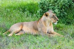 休息她的眼睛的雌狮紧密在Ea大草原的一棵树下  库存照片