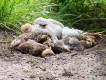 休息孔的小鸡 免版税库存照片
