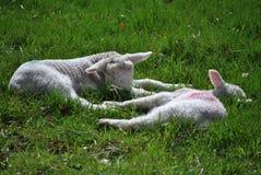 休息孪生的羊羔 库存照片