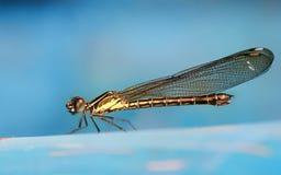 休息小的蜻蜓的照片栖息和 免版税图库摄影