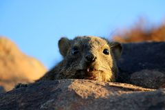 休息岩石的dassieis -纳米比亚非洲 图库摄影