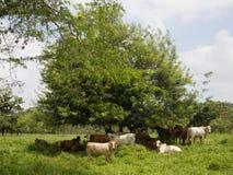 休息影子结构树的母牛下 免版税图库摄影