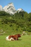 休息户外在山的母牛 免版税库存图片