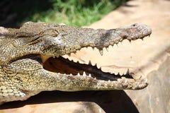 休息接近河的边的一条公尼罗鳄鱼的画象在卢克索,埃及 库存图片