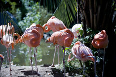 休息桃红色火鸟的群在阳光下 库存照片