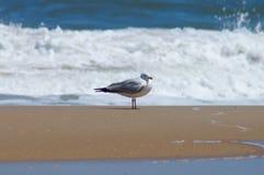休息沿外面银行海岸线的美满的海鸥 库存照片