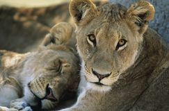 休息特写镜头的两头狮子 图库摄影
