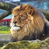 休息狮子画象在晴天 库存图片