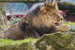 休息狮子画象在晴天 免版税库存图片