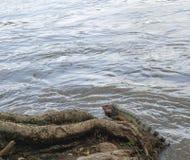 休息由河的鬣鳞蜥 免版税库存照片