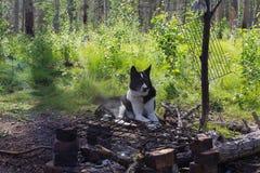 休息由篝火的狗 西伯利亚,俄国 免版税库存图片