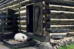 休息由谷仓的猪 免版税库存图片