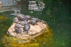 休息的乌龟在阳光下 免版税图库摄影