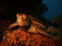 休息的乌龟 免版税库存照片