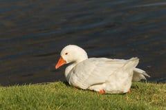 休息的家养的鹅 免版税库存照片