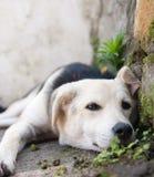 休息的小狗 免版税库存照片