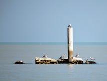 休息的岩石海鸥 库存图片