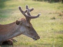 休息的幼小雷德迪尔鹿elaphus雄鹿生长鹿角 免版税库存照片