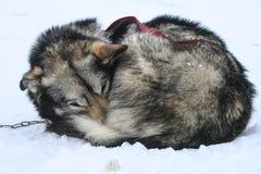 休息的拉雪橇狗 免版税库存图片