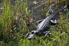 休息的掠食性动物 免版税库存图片
