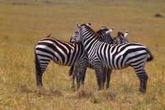 休息的斑马-徒步旅行队肯尼亚 免版税库存图片
