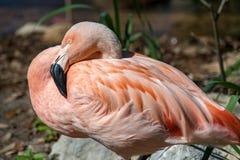 休息的桃红色火鸟 库存图片