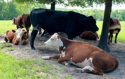 休息的母牛在一个热的夏日 图库摄影