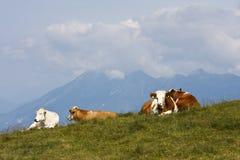 休息的母牛在奥地利国家, Dreilandereck 免版税库存照片