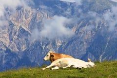 休息的母牛, Dreilandereck,奥地利国家 库存图片